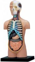 3D пазл 4D Master Human Torso Anatomy Model 26051