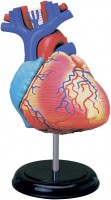 Фото - 3D пазл 4D Master Heart Anatomy Model 26052